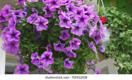 Purple (violet) petunia hybrida flower bed floral background. Blooming flowers in garden basket, flowerbed. Spring time nature background.