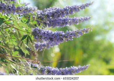 Purple vitex tree close up in garden.
