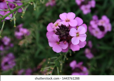 The purple wallflower Erysimum Bowles Mauve