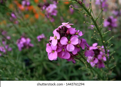 Purple wallflower Erysimum Bowles Mauve
