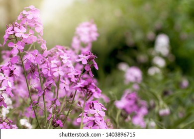 Purple wallfowers (erysimum) grow wild in a meadow; sunlight shines on the blossoms of a wallflowers in bloom