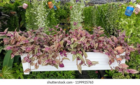 Purple Wandering Jew or Silver Inch Plant