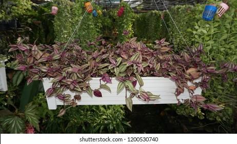 Purple Wandering Jew or Silver Inch Plant