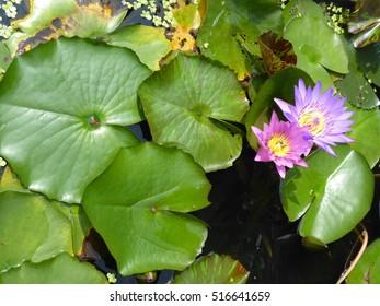 purple water flowers surrouned by green leaves