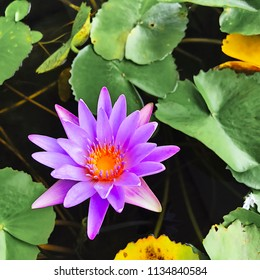 Purple water lilly on water background with leaves and it's bud.