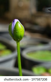 A purple water lily bud