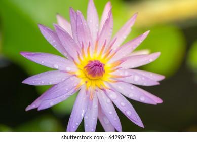 Purple water lily flower or lotus flower.