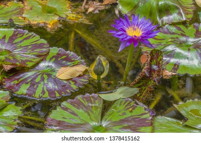 Purple Water Lily With Green Lily Pads.  Purple, red,  and gold lily bloom surrounded by green lily pads and point of focus on the flower.