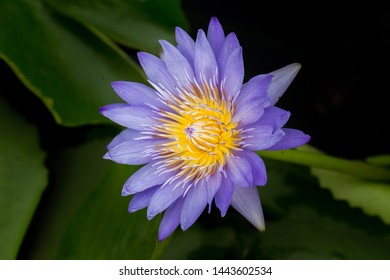 Purple Water Lily Water Lily, Nuphar Lutea, Aquatic Plant