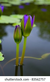 purple water lily on the lake