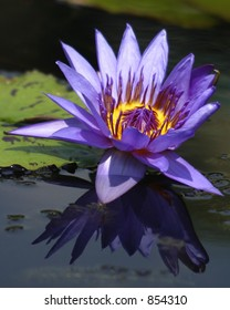 Purple Water Lily and Reflection