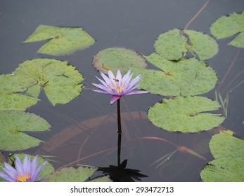 The purple water lily(1)