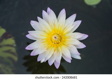 Purple waterlily or lotus flower in garden