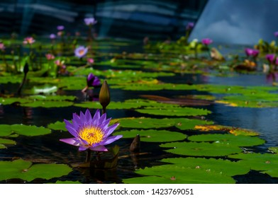 Purple waterlily on the pond. Also known as Nymphaea nouchali, it has a primitive flower structure in that the sepals, petals and stamens transition from one to another.