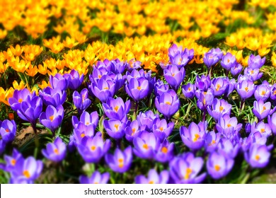 Purple and wellow crocuses field flowers. Beautiful springtime seasonal photography.