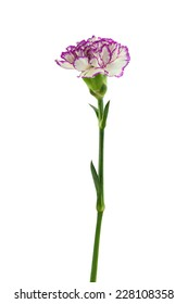 purple and white carnation flower isolated on white background