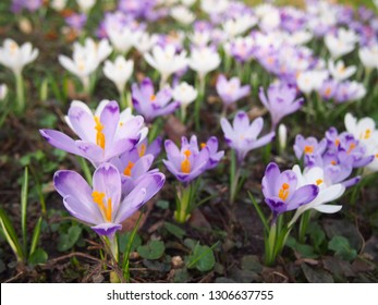 Purple and white crocus fllowers, growing in garden