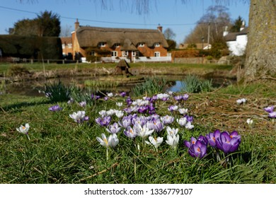 Purple and white crocuses by the duck pond in Oakley Hampshire
