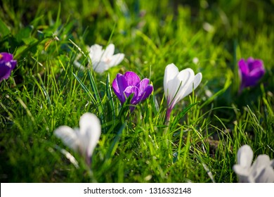 Purple and white crocuses on green grass hill, natural floral background closeup