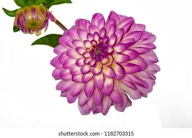 Purple white dahlia close up,isolated on white background