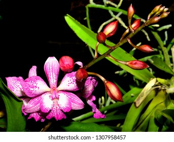 Purple and white exotic orchids, with red buds and green leaves.