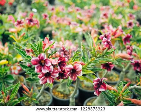 Purple White Flower Adenium Plant Pot Stock Photo Edit Now