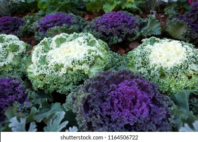 Purple and white flowering kale plants