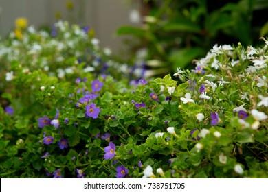 Purple and white garden flowers.