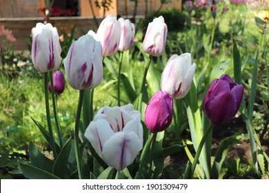 Purple, white and lilac blend color Triumph Tulips Purple Passion bloom in a garden in May 2020