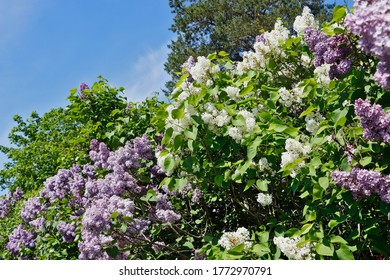 Purple and white lilac tree flowers in spring time against blue sky