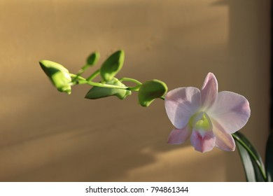 Purple white orchid bloom among the green buds hanging on a single stalk. The background is beige color wall.