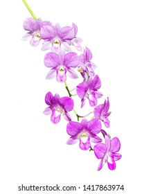 Purple and White Orchids Isolated on White background.
