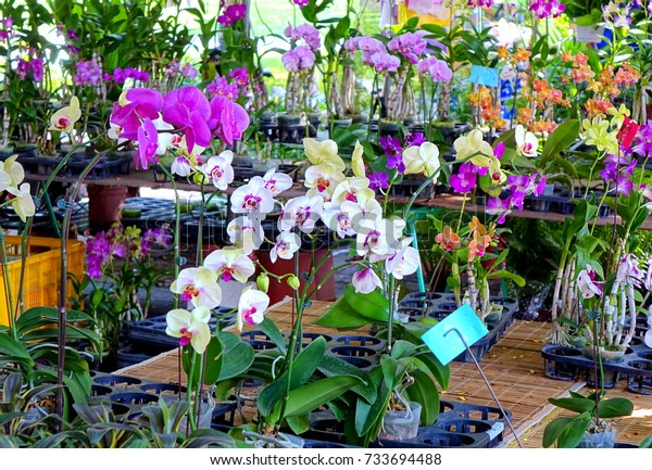 Purple and white orchids of the Phalaenopsis family are sold at a flower market