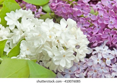 Purple, white and pink lilac flowers isolated on white background. Different kind of lilac flowers