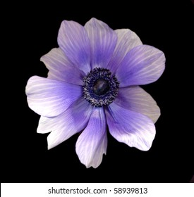 purple and white poppy on black