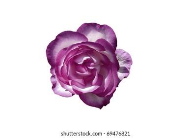 Purple & White Rose Flower Isolated on White