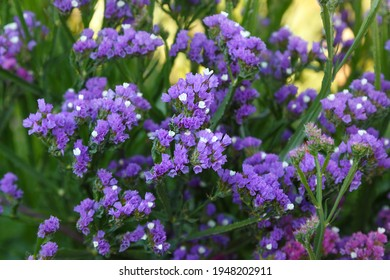purple and white Statice flowers in the garden, close-up with a blurred background, as a natural background for the designer. selective sharpness. growing Limonium sinuatum
