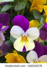 Purple and white tricolor pansy flowers  - viola blossom - viola tricolor