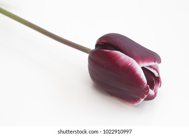 Purple and white  tulip with white background