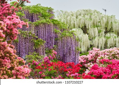 Purple and White Wisteria (Fuji no Hana) with Blurred Foreground of Pink Azalea in Beautiful and Colorful Flower Garden near Tokyo Japan, Top Tourist Destination for Spring Season