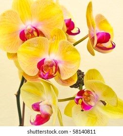 purple, white, yellow falan orchid, Air Orchid & Lab(Orchid supermarket), Thailand
