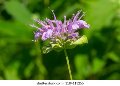 A purple Wild Bergamot flower blooms in the afternoon sunshine. Also known as Bee Balm. Todmorden Mills Park, Toronto, Ontario, Canada.