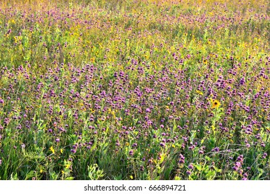 Purple wild flower field