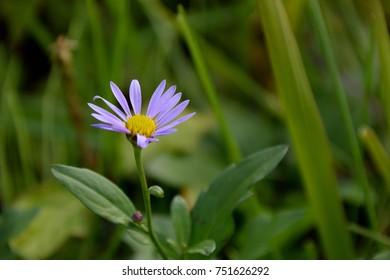 "Purple wild flower - Kalimeris pseudoyomenaKitam. It is called ""Kanto yomena"" in Japan."