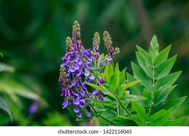 Purple wild flowers, blooming in nature