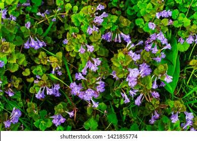 Purple wild flowers. Small purple flowers.