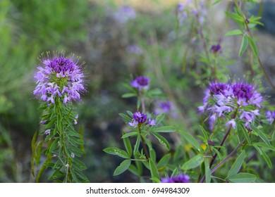 Purple wildflowers in Dunes