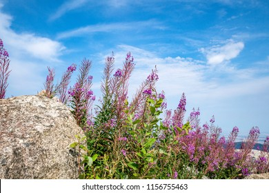 Purple wildflowers in the mountains under a blue sky growing next to a large rock