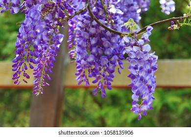 Purple wisteria flowersbeautiful scenery purple yellow stock photo purple wisteria flowersbeautiful scenery of purple with yellow flowers and buds blooming in the mightylinksfo