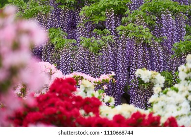 Purple Wisteria (Fuji no Hana) with Blurred Foreground of Pink and Red Azalea in Beautiful and Colorful Flower Garden near Tokyo Japan, Top Tourist Destination for Spring Season